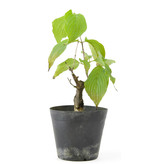 Cornus kosa, 16 cm, ± 7 jaar oud