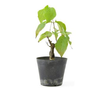Cornus kosa, 16 cm, ± 7 anni