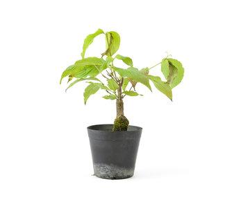 Cornus kosa, 15,9 cm, ± 7 anni