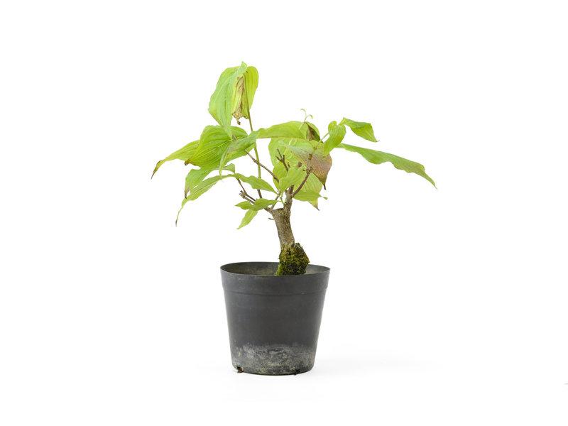 Cornus kosa, 15,9 cm, ± 7 jaar oud