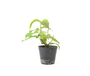 Cornus kosa, 15,8 cm, ± 7 anni
