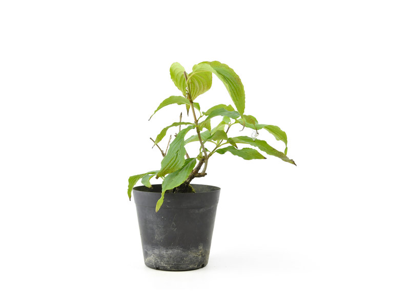 Cornus kosa, 15,8 cm, ± 7 jaar oud