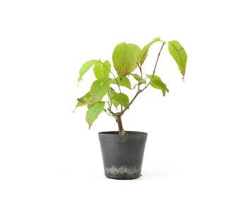 Cornus kosa, 15,7 cm, ± 7 jaar oud