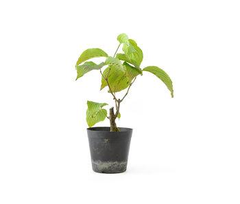 Cornus kosa, 15,6 cm, ± 7 anni