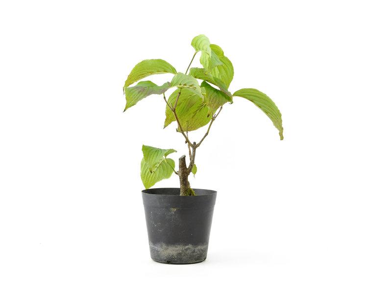 Cornus kosa, 15,6 cm, ± 7 jaar oud