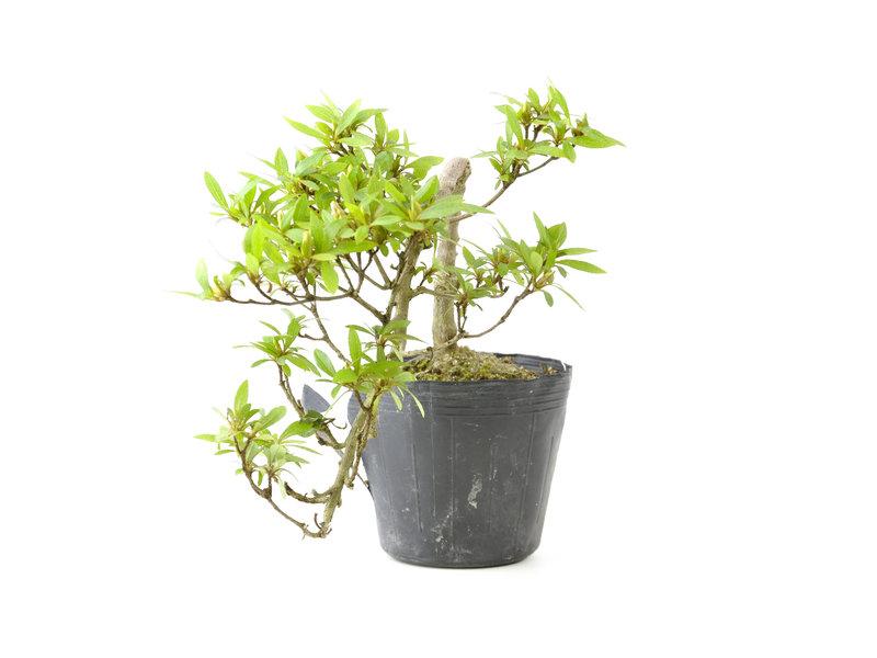 Japanse azalea, 23 cm, ± 8 jaar oud