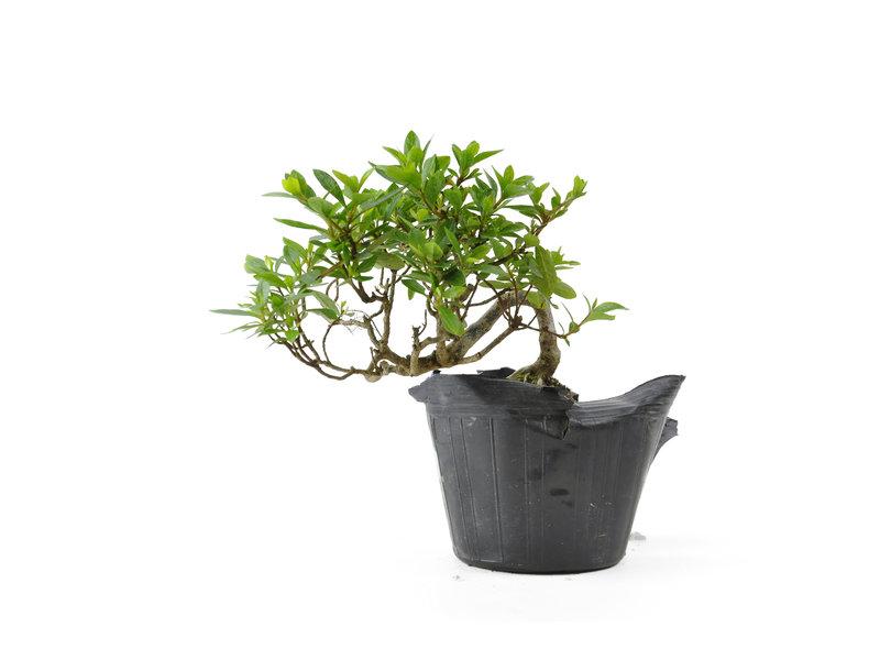 Japanse azalea, 11 cm, ± 8 jaar oud