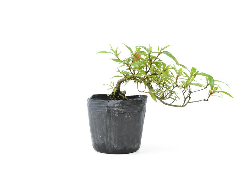 Japanse azalea, 10 cm, ± 8 jaar oud