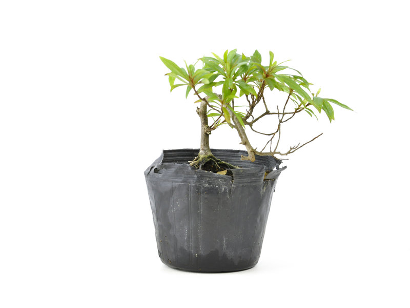 Japanse azalea, 11,1 cm, ± 8 jaar oud