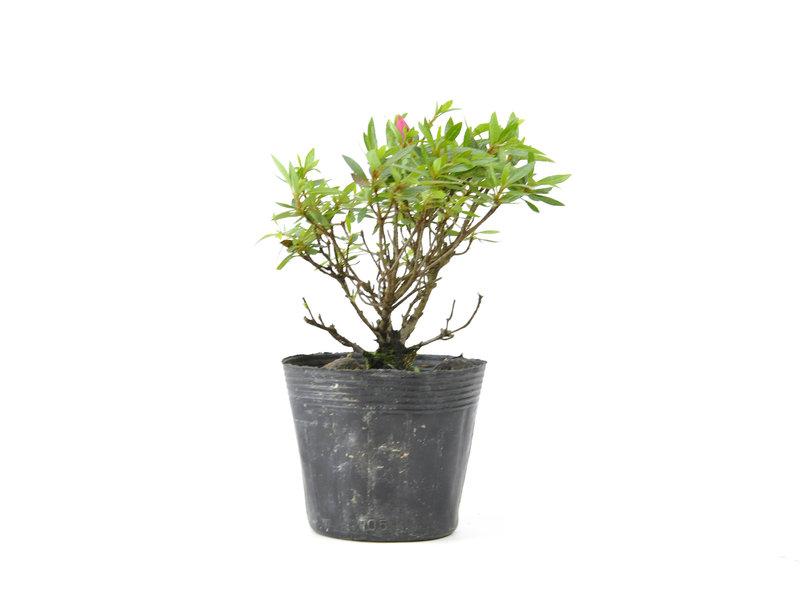 Japanse azalea, 14 cm, ± 8 jaar oud