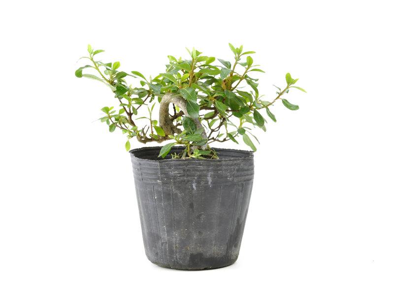 Japanse azalea, 10,1 cm, ± 8 jaar oud