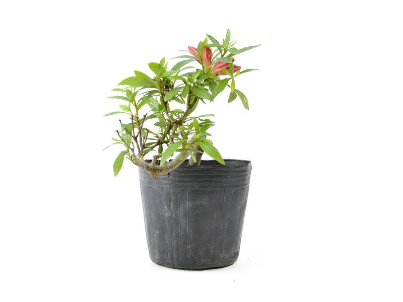 Japanse azalea, 13 cm, ± 8 jaar oud