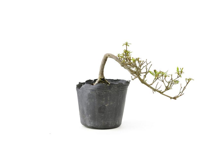 Japanse azalea, 8 cm, ± 8 jaar oud