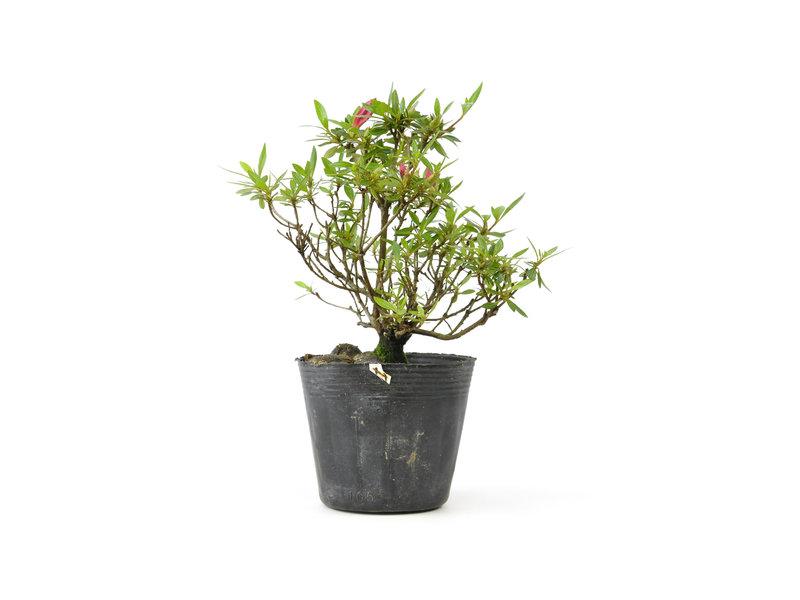 Japanse azalea, 16,5 cm, ± 8 jaar oud