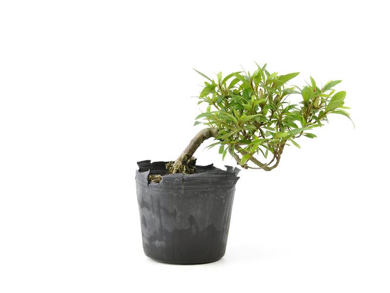 Japanse azalea, 10,9 cm, ± 8 jaar oud