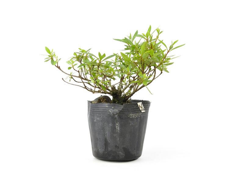 Japanse azalea, 14,5 cm, ± 8 jaar oud