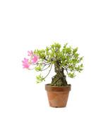 Japanse azalea (Satsuki Sania), 19,9 cm, ± 12 jaar oud