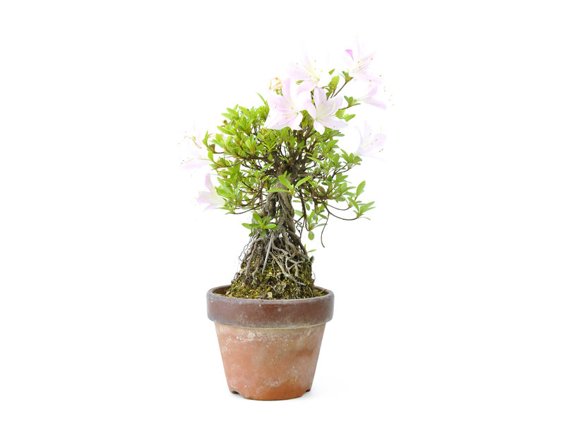 Japanse azalea (Satsuki Sania), 22 cm, ± 12 jaar oud