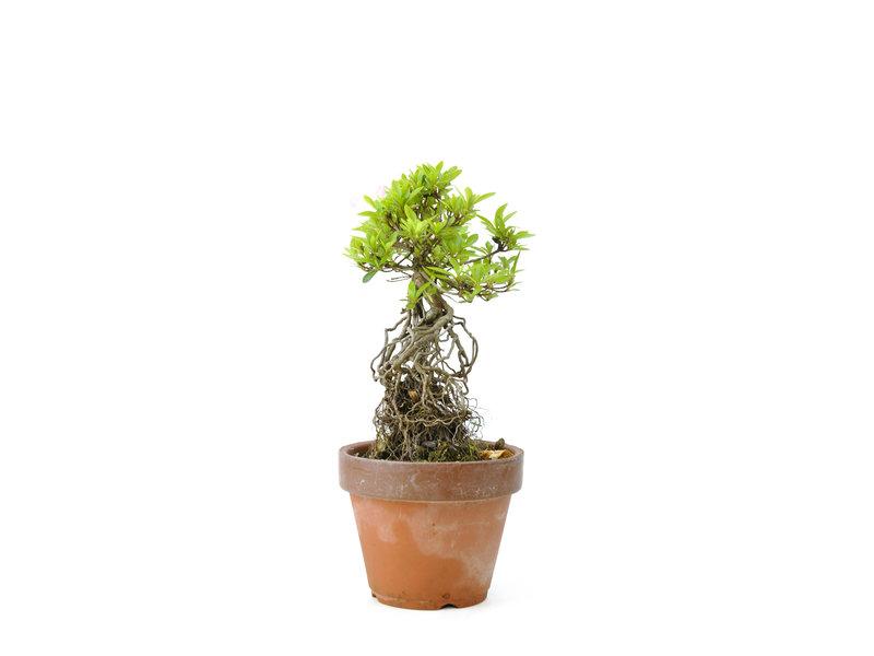 Japanse azalea (Satsuki Sania), 19 cm, ± 12 jaar oud