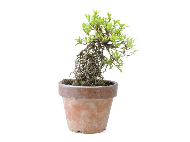 Japanse azalea (Satsuki Sania), 14 cm, ± 12 jaar oud