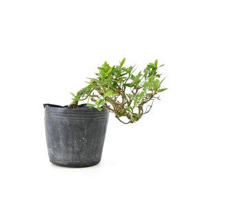 Azalea japonesa, 9 cm, ± 8 años.