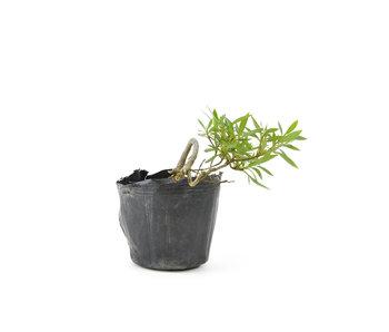 Azalea japonesa, 8 cm, ± 8 años.