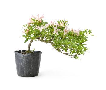 Azalea japonesa, 15 cm, ± 8 años.