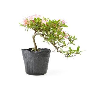 Azalea japonesa, 14 cm, ± 8 años.