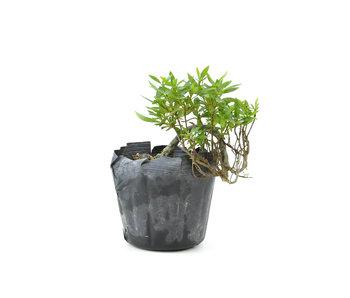 Azalea japonesa, 10 cm, ± 8 años.