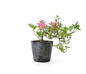Azalea japonesa, 16 cm, ± 8 años.