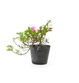 Japanse azalea, 16 cm, ± 8 jaar oud, met felroze bloemen