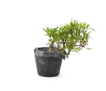 Azalea japonesa, 13 cm, ± 8 años.
