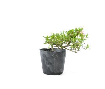 Azalea japonesa, 13,1 cm, ± 8 años.