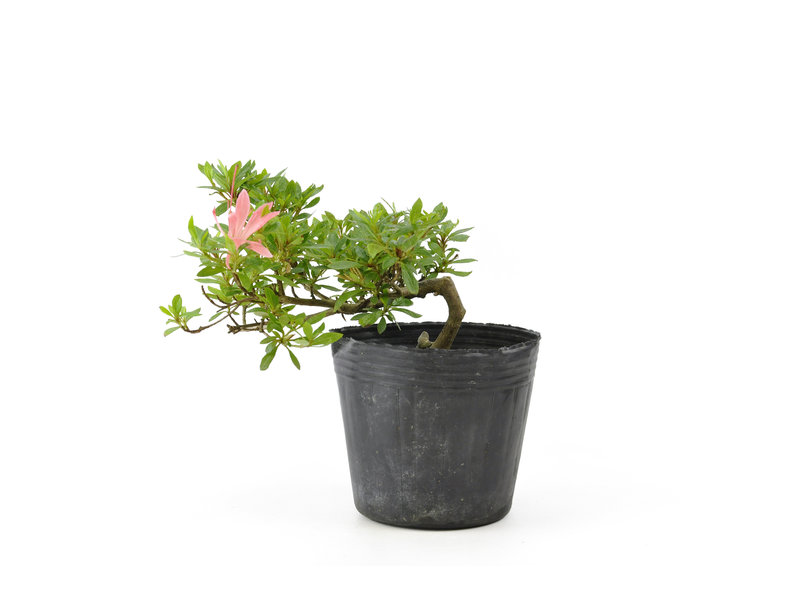 Japanse azalea, 13,1 cm, ± 8 jaar oud, met roze bloemen