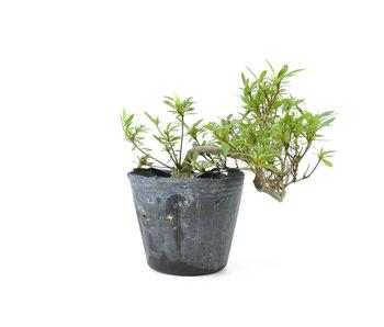 Azalea japonesa, 12 cm, ± 8 años.
