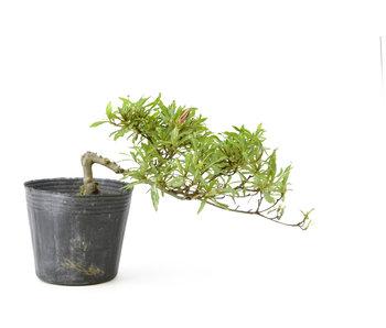 Azalea japonesa, 11 cm, ± 8 años.