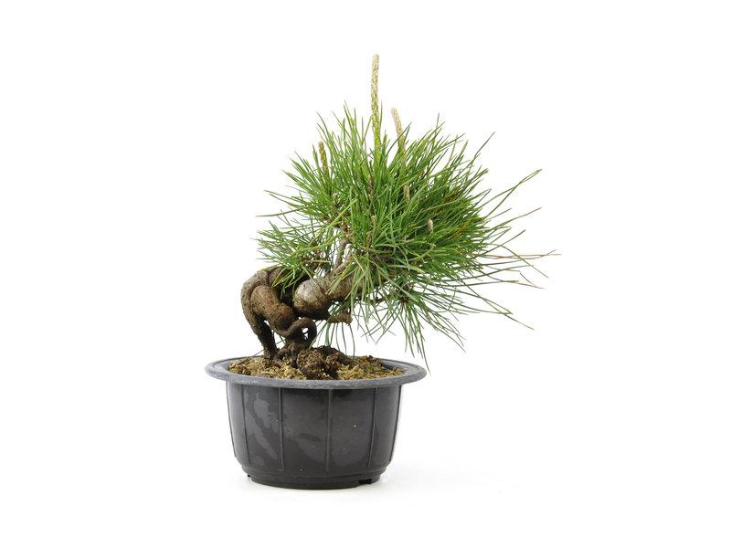 Japanse zwarte den, 16,5 cm, ± 8 jaar oud, in neagari-stijl