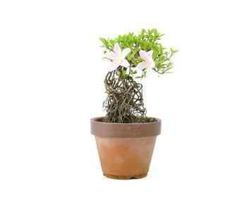 Azalea japonesa, 16 cm, ± 20 años.