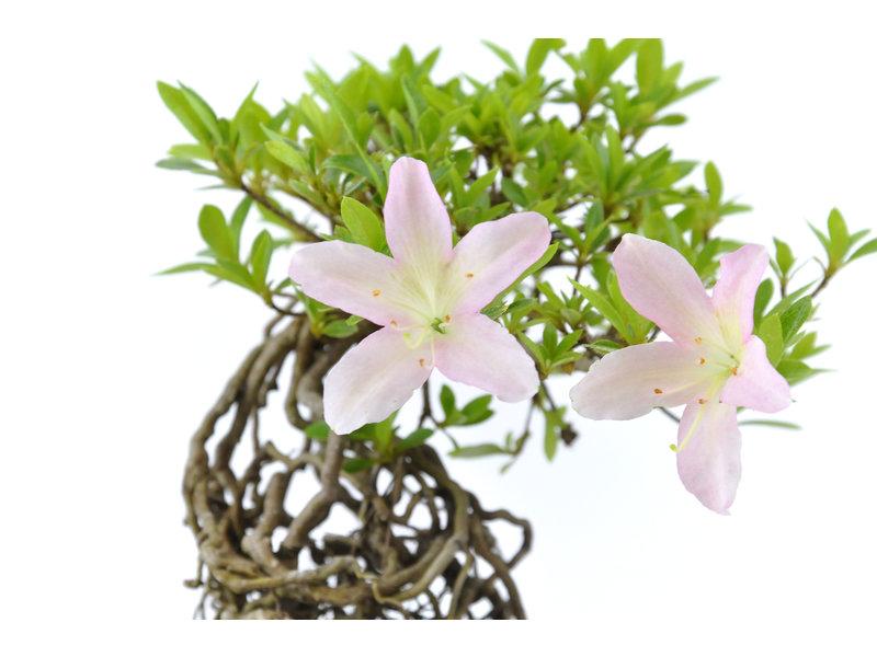 Japanse azalea, 16 cm, ± 20 jaar oud, met witte en roze bloemen