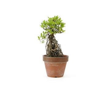 Azalea japonesa, 18 cm, ± 20 años.