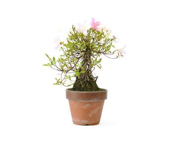 Azalea japonesa, 20 cm, ± 20 años