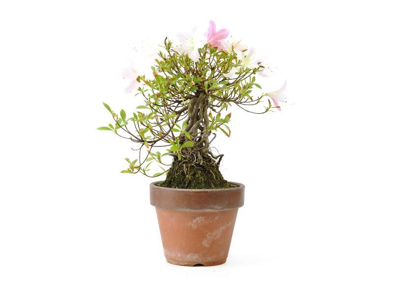 Japanse azalea, 20 cm, ± 20 jaar oud, met witte en roze bloemen