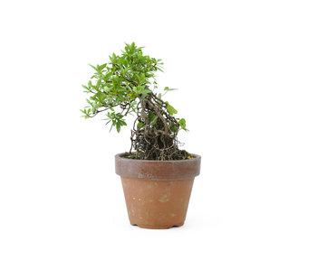 Azalea japonesa, 15 cm, ± 20 años.
