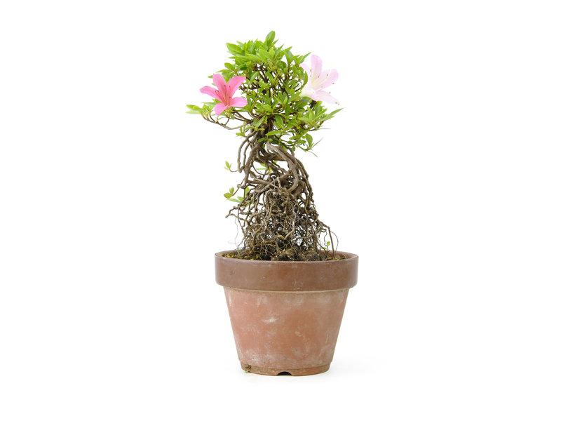 Japanse azalea, 20,1 cm, ± 20 jaar oud, met witte en roze bloemen