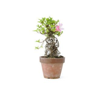 Azalea japonesa, 20,1 cm, ± 20 años.