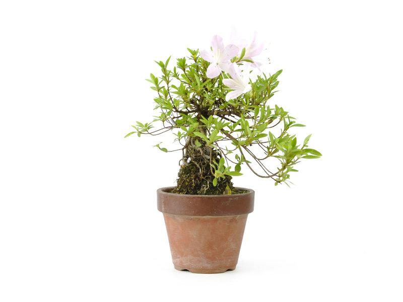 Japanse azalea, 18 cm, ± 20 jaar oud, met witte en roze bloemen