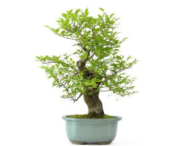 Japanse storaxboom, 34 cm, ± 25 jaar oud