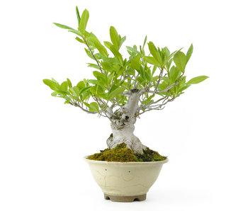 Platillo magnolia, 38 cm, ± 20 años