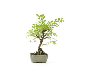Olmo di corteccia di sughero con foglie piccole, 22,5 cm, ± 10 anni