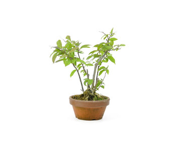 Winterberry japonés, 18 cm, ± 10 años